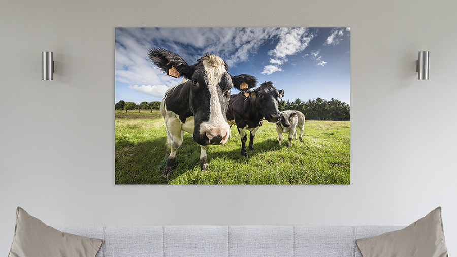 cows on wall